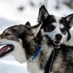 Chiens de traineau, Laponie