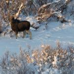 Jeune élan en Laponie