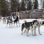 Faire du chiens de traineau en Finlande