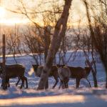 Observer des rennes en Finlande