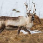Observer des rennes en Laponie