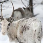 Observer des rennes en Laponie finlandaise