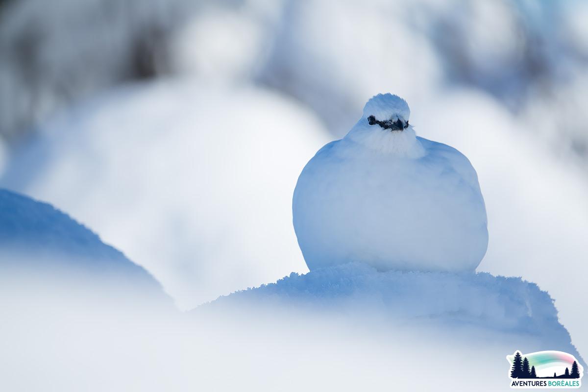 Perdrix des neiges / Lagopèdes alpins