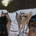 Rando en chiens de traineau en Laponie