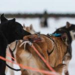 Randonnée en traineau à chiens en Finlande