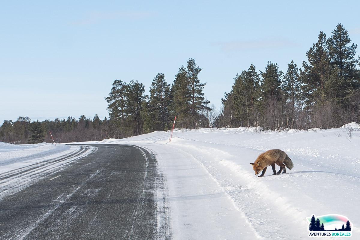 Renard en Finlande