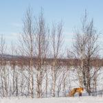 Renard en Laponie