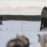 Vacances, chiens de traineau en Laponie