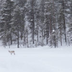 Voir des rennes en Finlande