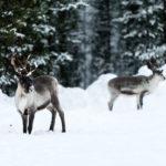 Voir des rennes en Laponie