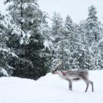 Voyage en Finlande, voir des rennes