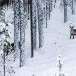 Voyage en Laponie, voir des rennes